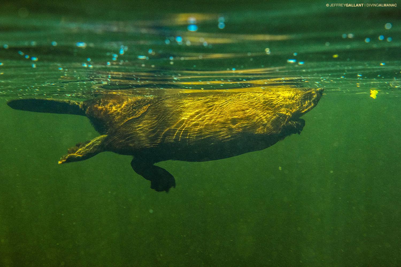 Longest beaver dam