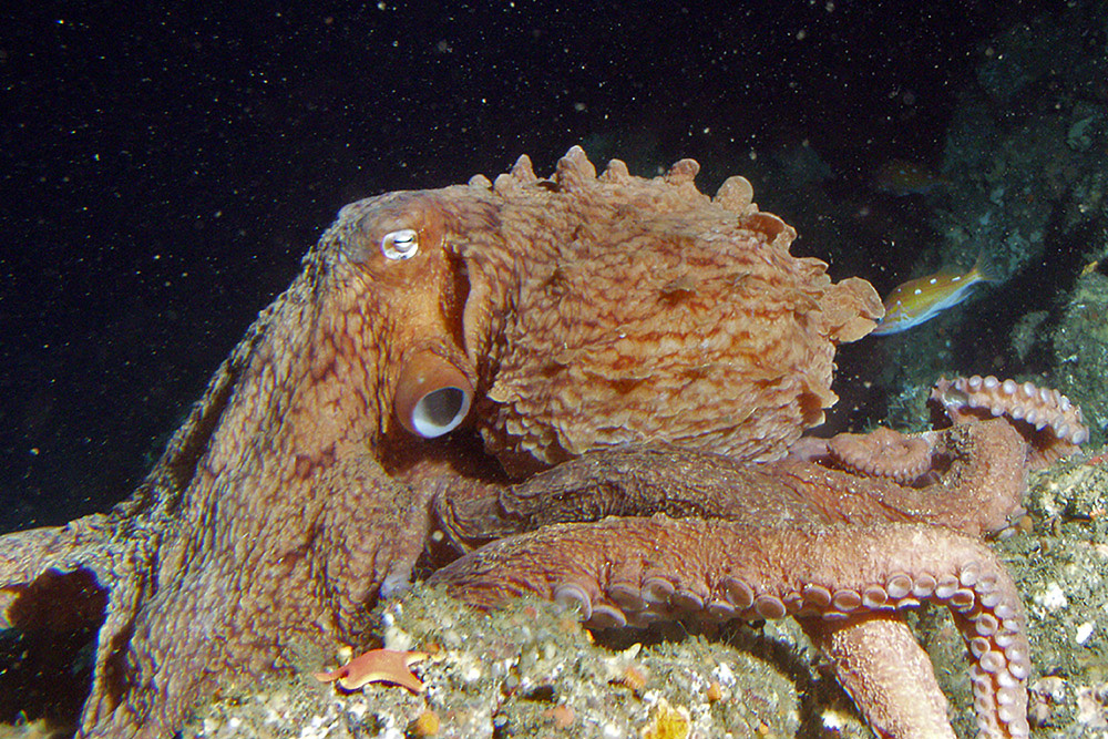 Largest octopus