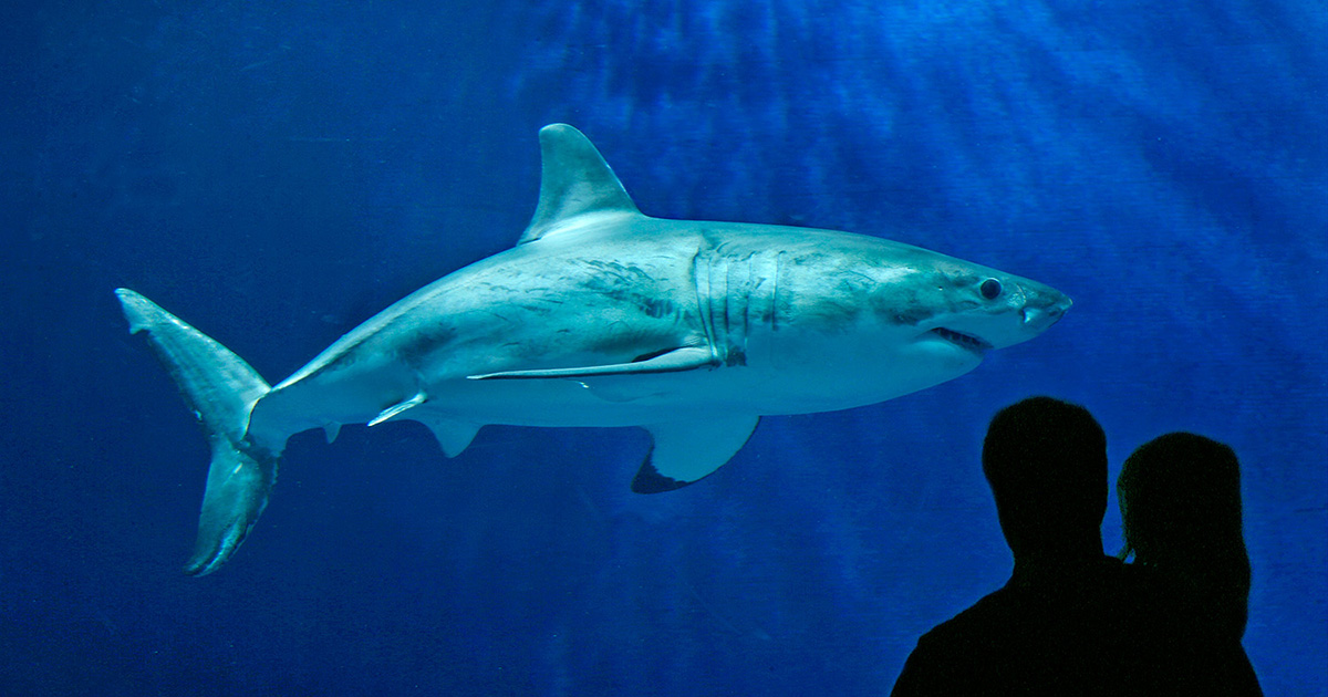 Longest period of captivity [White shark]