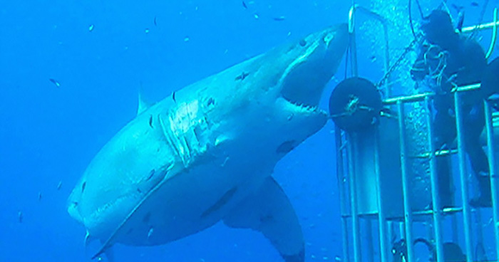 Largest white shark filmed underwater
