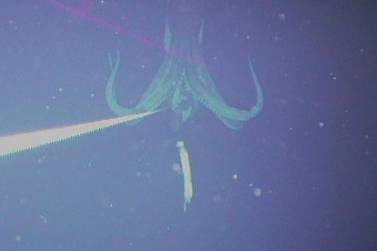 First to photograph a giant squid underwater