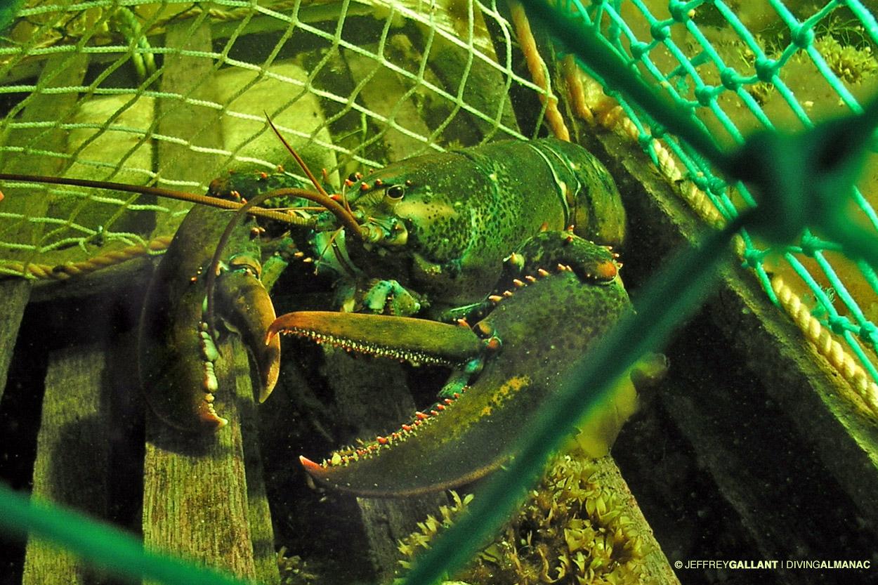 Heaviest crustacean