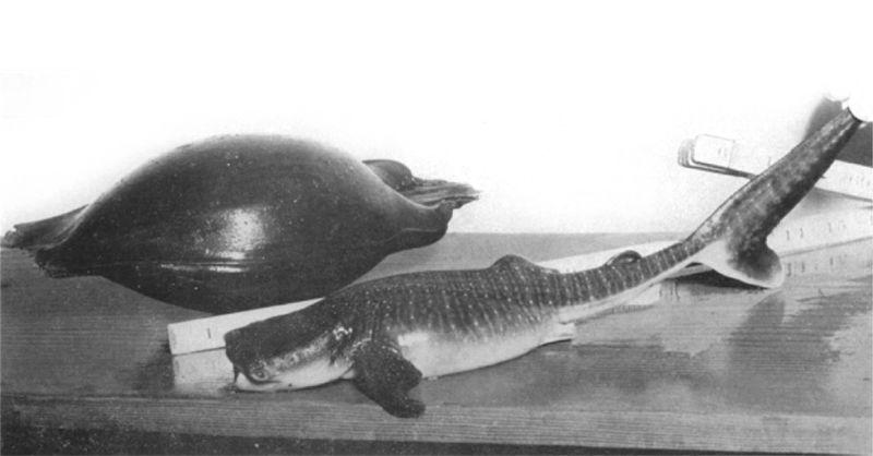 Largest fish egg