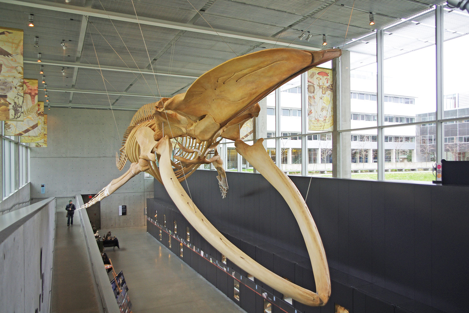 Largest skeleton suspended without external support