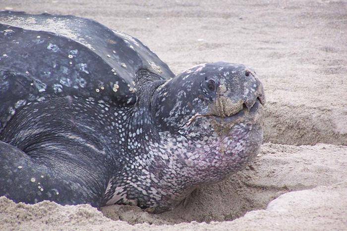 Deepest turtle